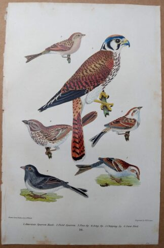Antique print, plate 16, from 1832 of American Sparrow Hawk (Kestrel), Field Sparrow from Alexander Wilson's American Ornithology