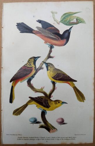 Orchard Oriole and egg from American Ornithology by Alexander Wilson, 1832