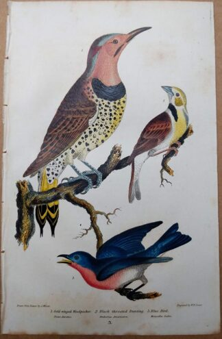 Original antique print from American Ornithology by Alexander Wilson of Woodpecker, Bunting, and Blue Bird