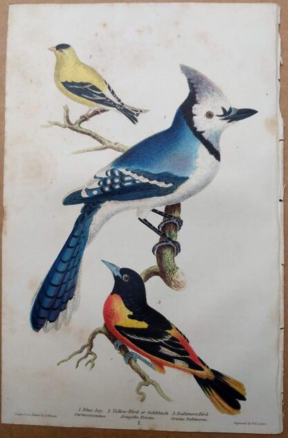 Blue Jay, Goldfinch, Baltimore Oriole antique print from Alexander Wilson American Ornithology, 1832