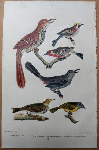 Antique print, plate 14, from 1832 of Brown Thrush, Cat Bird, Warbler from Alexander Wilson's American Ornithology