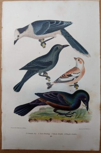 Antique print, plate 21, from 1832 of Canada Jay, Snow Bunting, Rusty Grackle, Purple Grackle from Alexander Wilson's American Ornithology