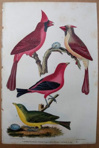 Antique print, plate 11, from 1832 of Cardinal Grosbeak, Red Tanager, and eggs from Alexander Wilson's American Ornithology