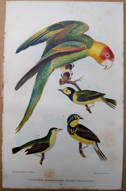 Antique print, plate 26, from 1832 of Carolina Parrot from Alexander Wilson's American Ornithology