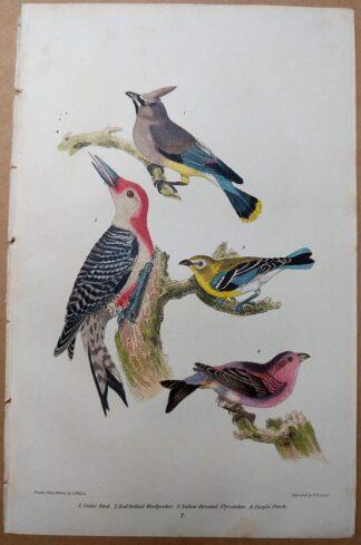 1832 original print by Wilson, American Ornithology of Cedar Bird, Red-bellied Woodpecker, Purple Finch