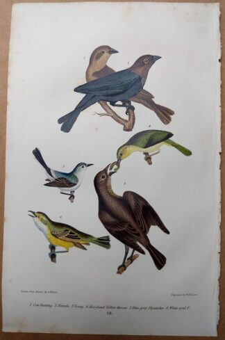 Antique print, plate 18, from 1832 of Cow Bunting, Maryland Yellow Throat from Alexander Wilson's American Ornithology