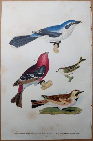 Plast 5 from American Ornithology by Alexander Wilson of the Great American Shrike, Pine Grossbeak, Wren, and Shore Lark, printed in 1832