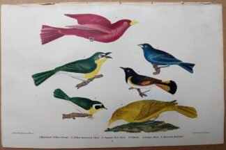 Antique original print of Maryland yellow-throat, yellow-breated chat, summer red bird, indigo bird, and American Redstart by Alexander Wilson, 1832