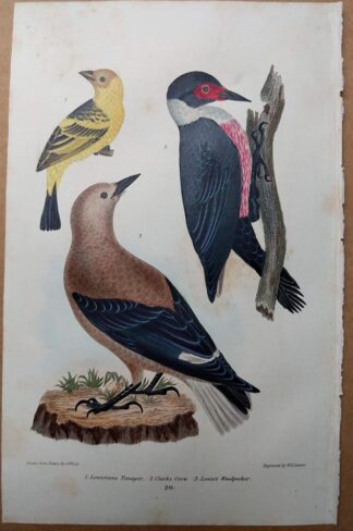 Antique print, plate 20, from 1832 of Louisiana Tanager, Clarks Crow, Lewis's Woodpecker from Alexander Wilson's American Ornithology