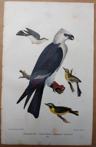 Antique print, plate 25, from 1832 of Mississippi Kite, Tennessee Warbler, Kentucky Warbler from Alexander Wilson's American Ornithology