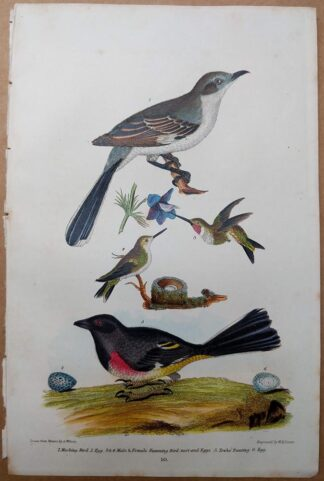 Antique print, plate 10, from 1832 of Mocking Bird and Humming Birds from Alexander Wilson's American Ornithology