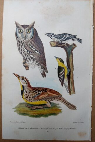 Antique print, plate 19, from 1832 of Mottled Owl, Meadow Lark from Alexander Wilson's American Ornithology