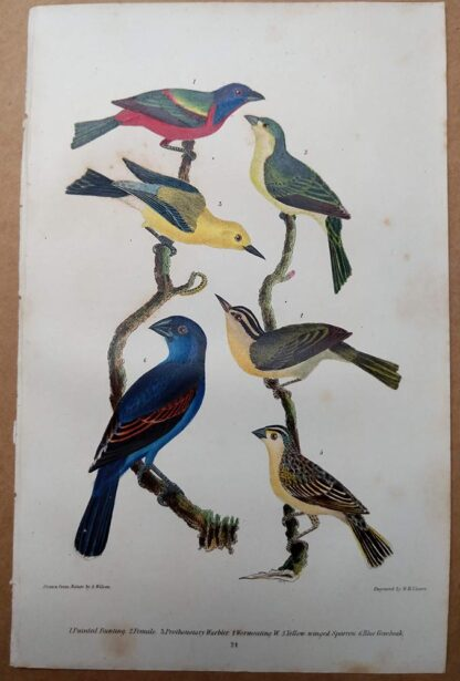 Antique print, plate 24, from 1832 of Painted Bunting, Blue Grosbeak from Alexander Wilson's American Ornithology