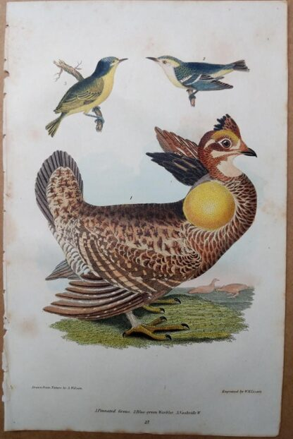 Antique print, plate 27, from 1832 of Pinnated Grouse from Alexander Wilson's American Ornithology