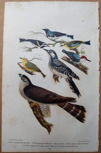 Antique print, plate 15, from 1832 of Red-cocaded Woodpecker, Nuthatch, Pigeon Hawk from Alexander Wilson's American Ornithology