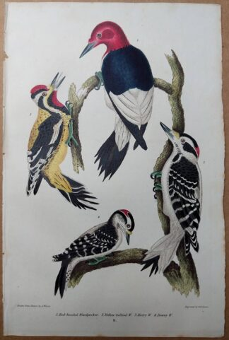 Plate 9 from American Ornithology by Wilson 1832 of Woodpeckers