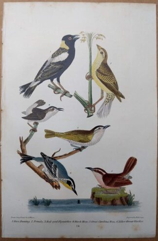Antique print, plate 12, from 1832 of Rice Bunting, Red-eyed Flycatcher, Marsh Wren, Great Carolina Wren, Yellow-throat Warbler from Alexander Wilson's American Ornithology
