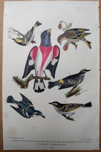 Antique print, plate 17, from 1832 of American Siskin, Rose Breasted Grosbeak, Warbler from Alexander Wilson's American Ornithology