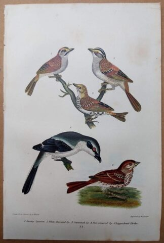 Antique print, plate 22, from 1832 of Swamp Sparrow, Loggerhead Shrike from Alexander Wilson's American Ornithology