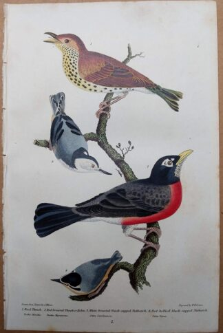 Original antique print from 1832 American Ornithology by Alexander Wilson - Wood Trush, Robin, Nuthatch